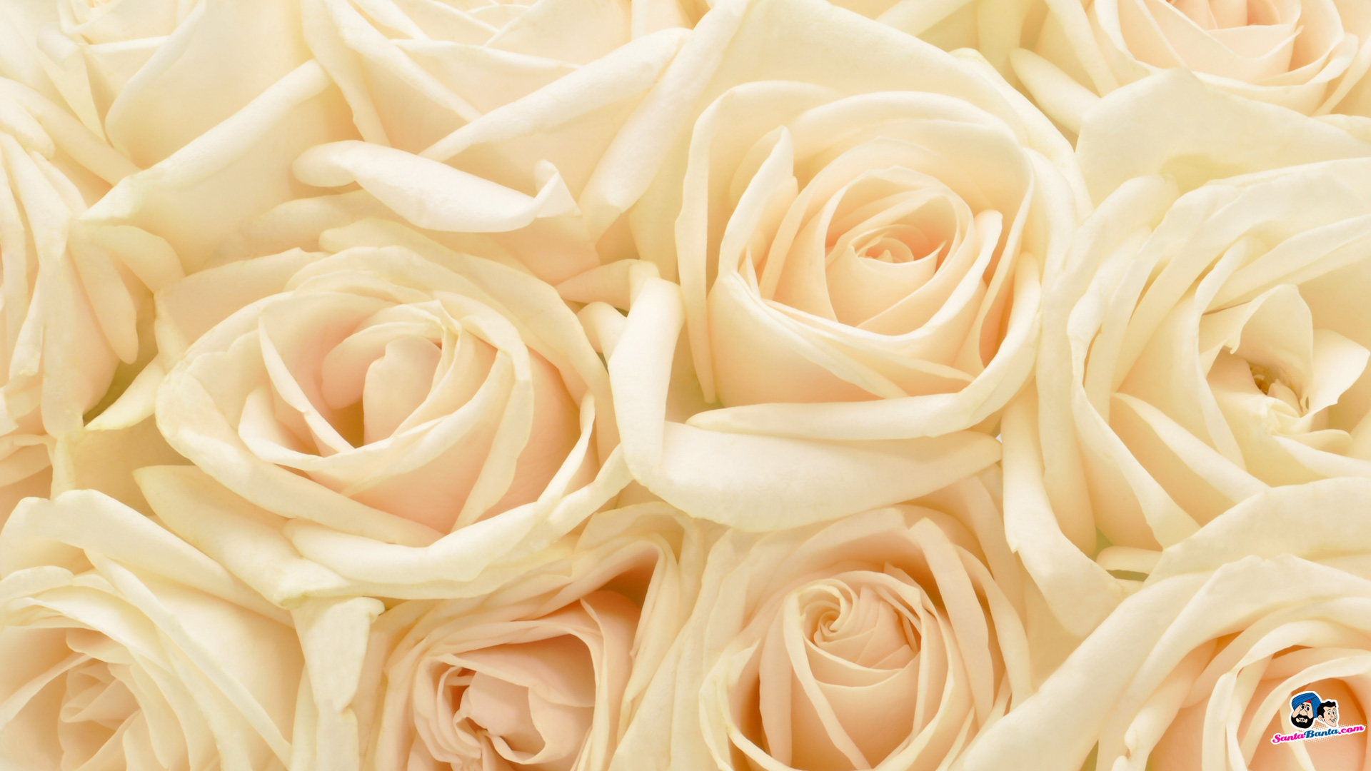 Knumathise Red And White Roses Tumblr Images