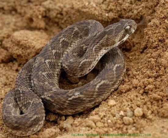 10 most poisonous Snakes of the world